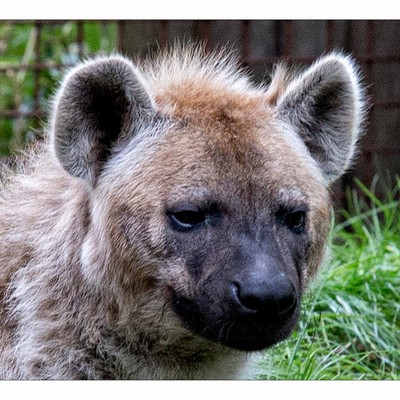 <strong>Dierentuin Amersfoort</strong><br><p>Hyena</p>