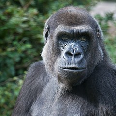 <strong>Burgers dierenpark</strong><br><p>Gorilla</p>
