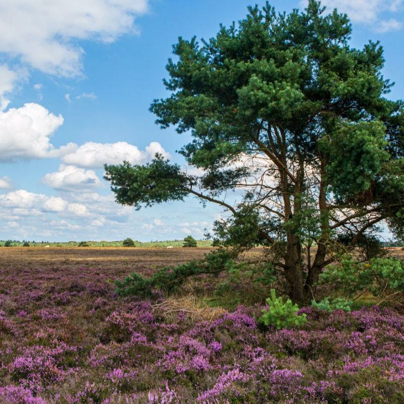 <strong></strong><br><p>Veluwe</p>