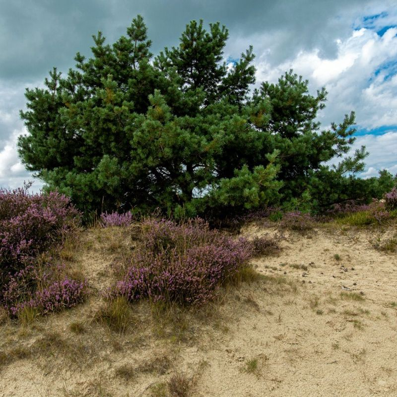 <strong></strong><br><p>Ackingerzand, kale duinen</p>